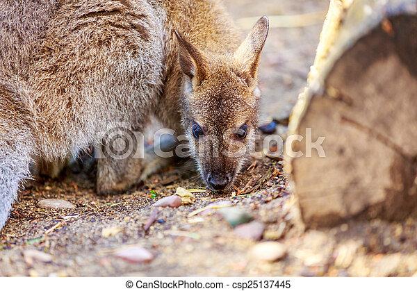 wallaby - csp25137445