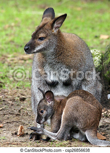wallaby - csp26856638