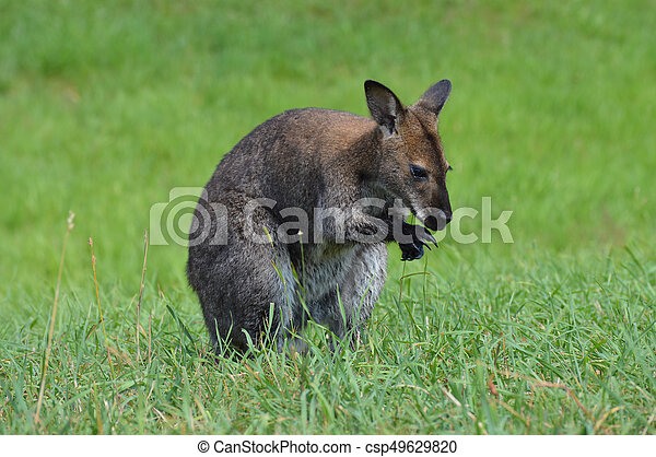 wallaby - csp49629820