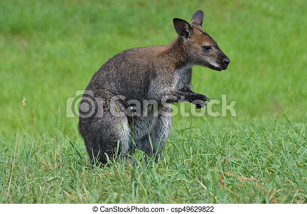 wallaby - csp49629822