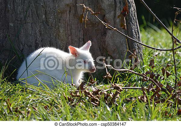 wallaby - csp50384147
