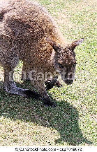 wallaby - csp7049672