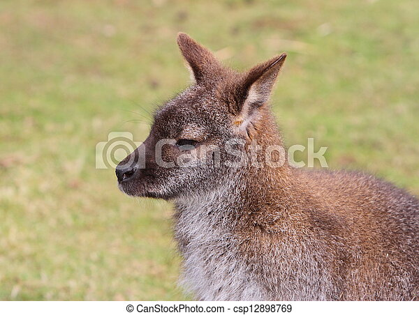 wallaby - csp12898769
