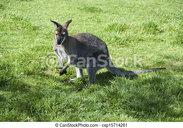wallaby - csp15714261