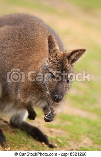 wallaby - csp18321260