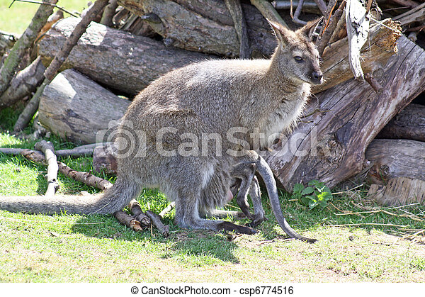 wallaby - csp6774516
