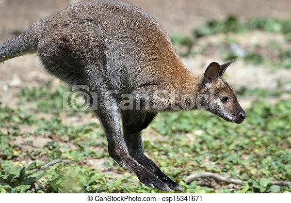 wallaby, canguru, bennett - csp15341671