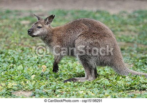 wallaby, canguru, bennett - csp15198291