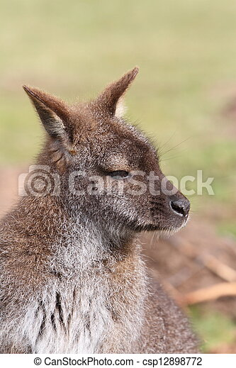 wallaby - csp12898772