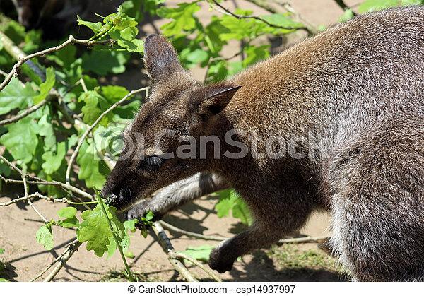 wallaby - csp14937997