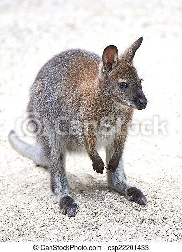 wallaby, rufogriseus), red-necked, (macropus - csp22201433