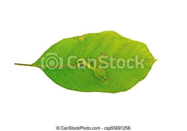 Walnut leaves on white background - csp55691256