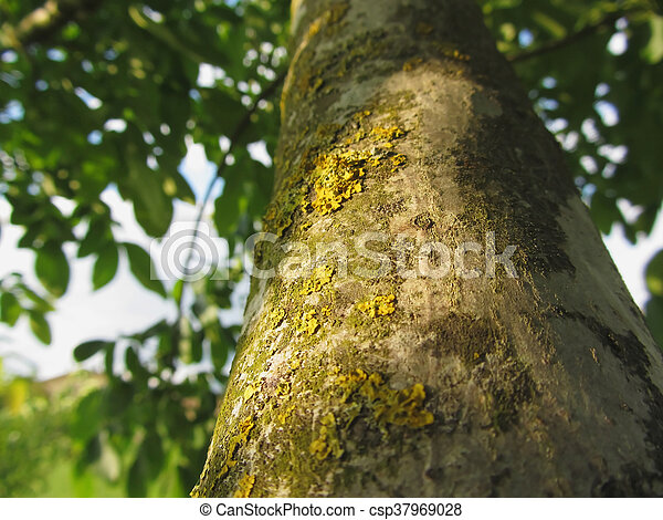 Walnut tree trunk with yellow moss fungus and lichens - csp37969028