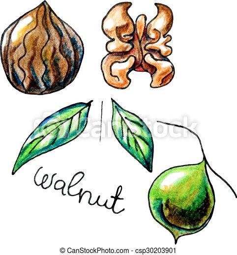 walnut - csp30203901