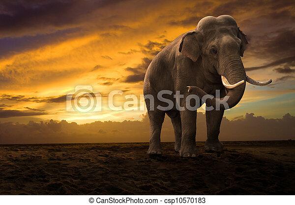 wandelende, buiten, ondergaande zon , elefant - csp10570183