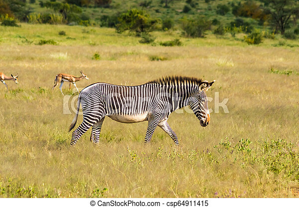 wandelende, savanne, park, vrijstaand, zebra, samburu - csp64911415