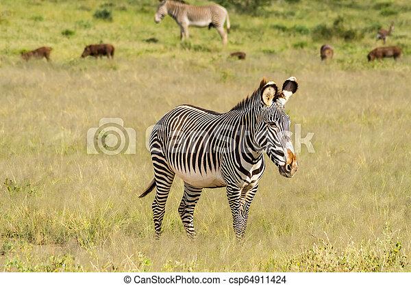 wandelende, savanne, park, vrijstaand, zebra, samburu - csp64911424