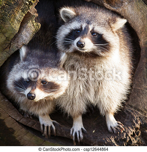 wasbeer, nest, zijn, volwassene - csp12644864