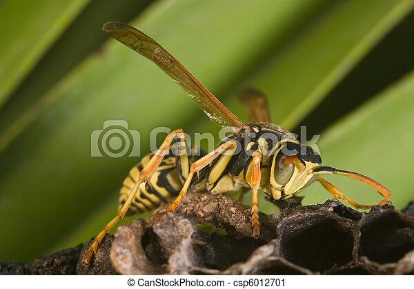 Bộ sưu tập côn trùng 2 - Page 12 Wasp-polistes-bischoffi-picture_csp6012701