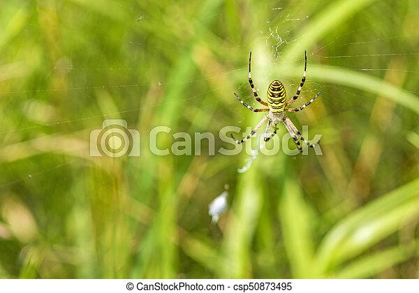 wasp spider, female in her net - csp50873495