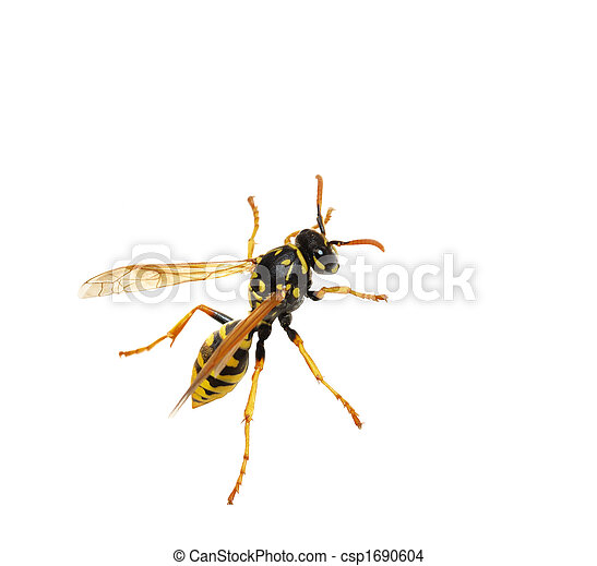 Wasp - csp1690604