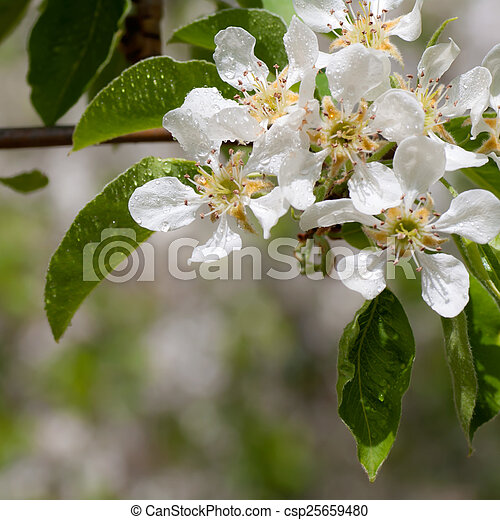 Wasserblume Apfel Tropfen