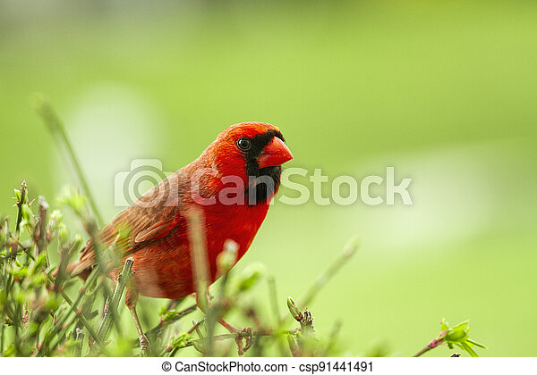 Watchful large Red Cardinal Sits cautiously on a bush - csp91441491