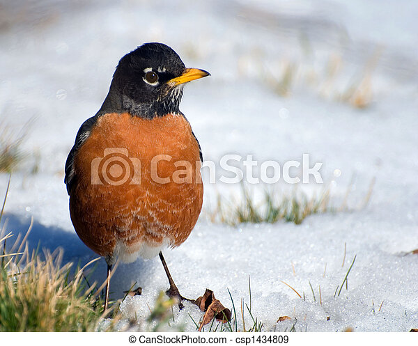 watchful robin on snow - csp1434809