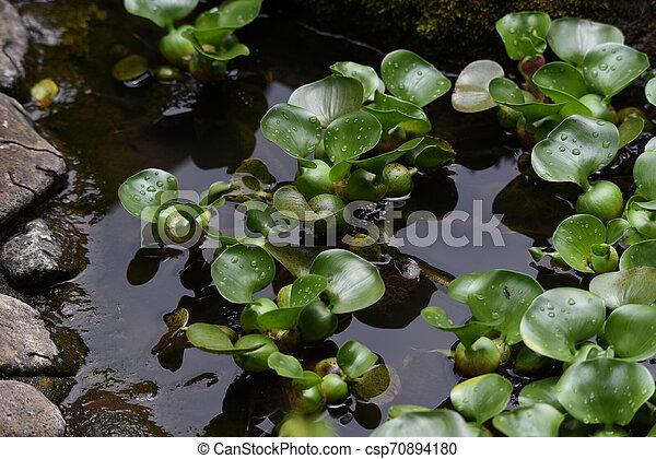 Water hyacinth flowers - csp70894180