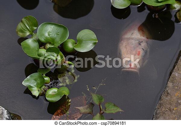 Water hyacinth flowers - csp70894181