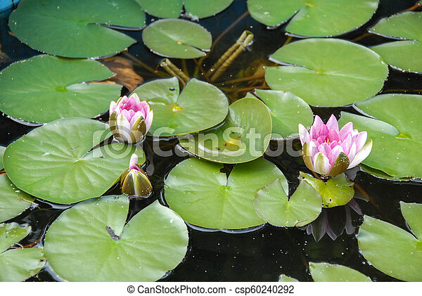 Water lilies in a pond - csp60240292