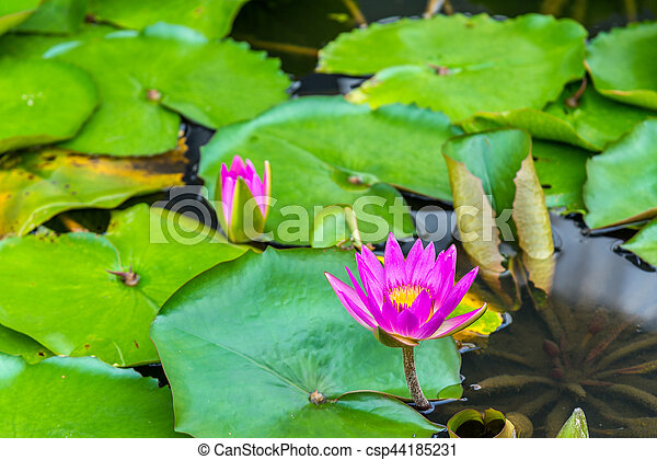 Water lilies in a pond, the city of Singapore - csp44185231
