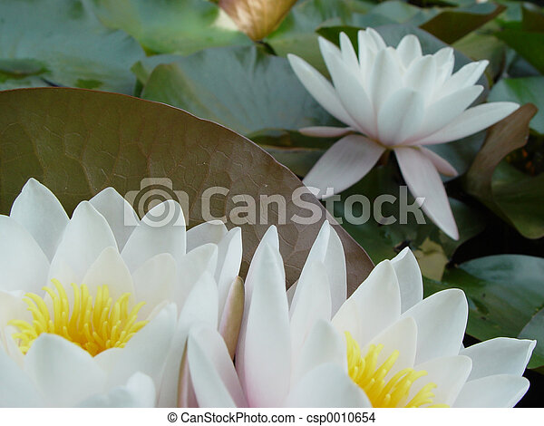 water lilies - csp0010654