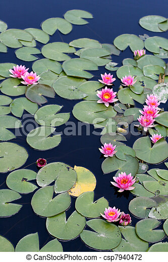 Water lilies - csp7940472