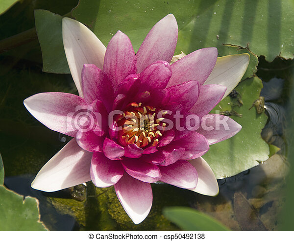 Water Lilly Bloom - csp50492138
