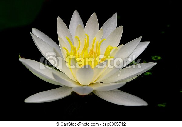 water lilly - csp0005712