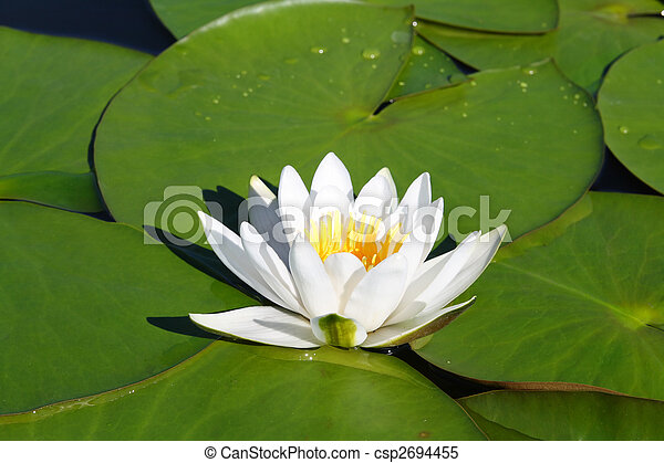 water-lily flower and leaves - csp2694455