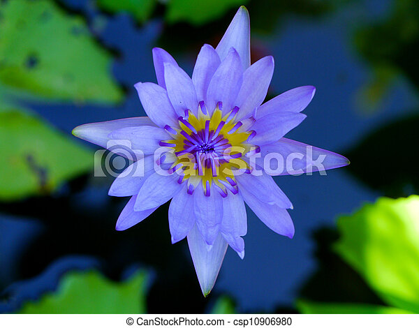 Water lily flower lotus the lotus flower water lily is national water lily flower lotus the lotus flower water lily is national flower for india lotus flower is a important symbol in buddha religion mightylinksfo
