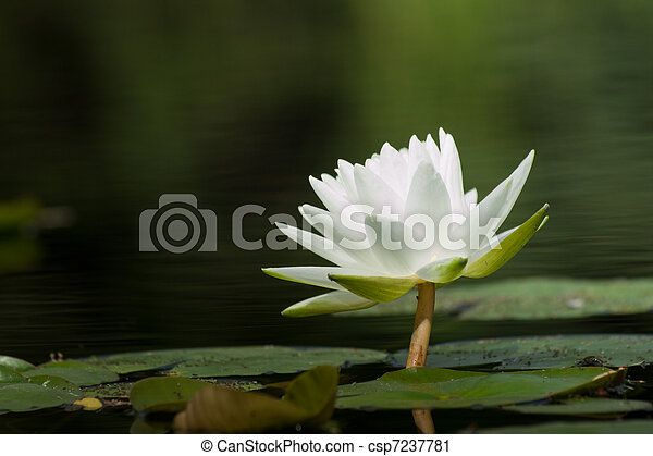 Water Lily in the Pond - csp7237781