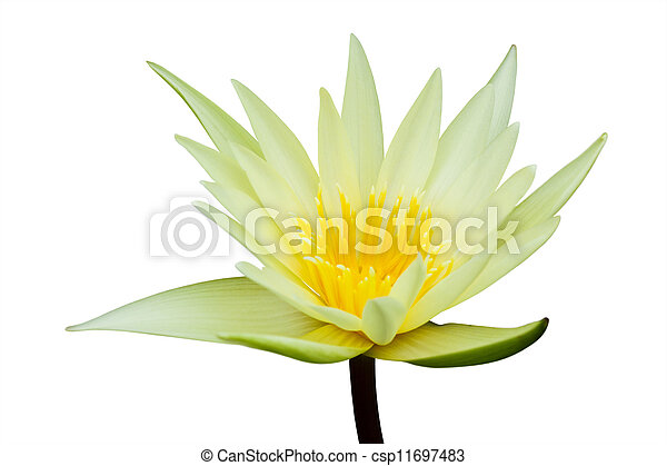 Water lily isolated on white background - csp11697483