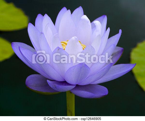 water lily, lotus - csp12646905