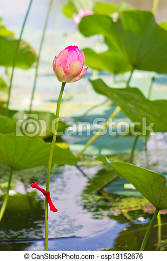 Water lily on the lake - csp13152676