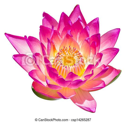 Water lily or lotus flower - csp14265287