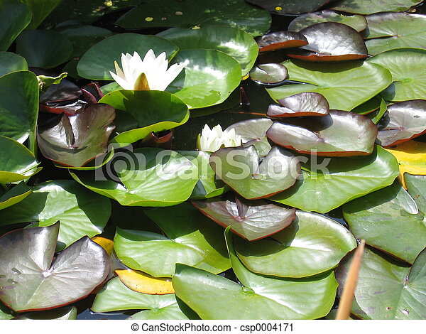 Water Lily - csp0004171