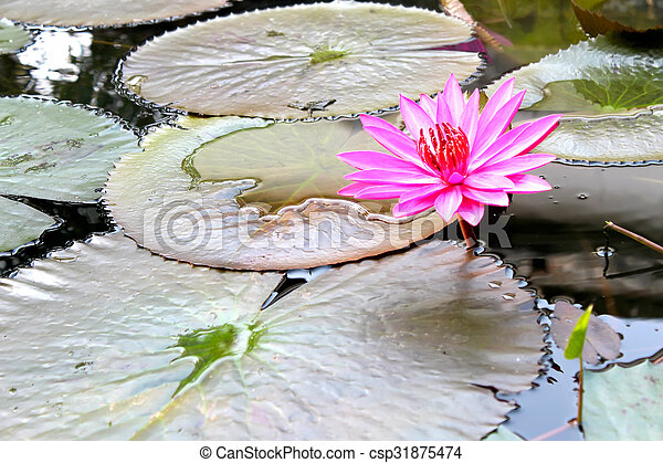 water lily - csp31875474
