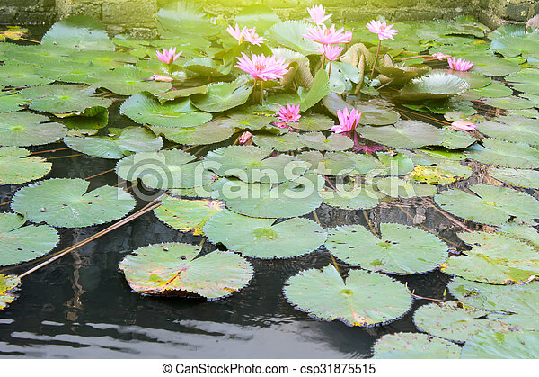 water lily - csp31875515
