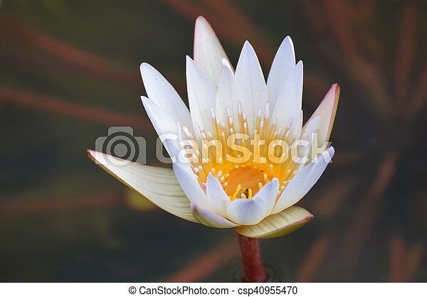 Water Lily - csp40955470