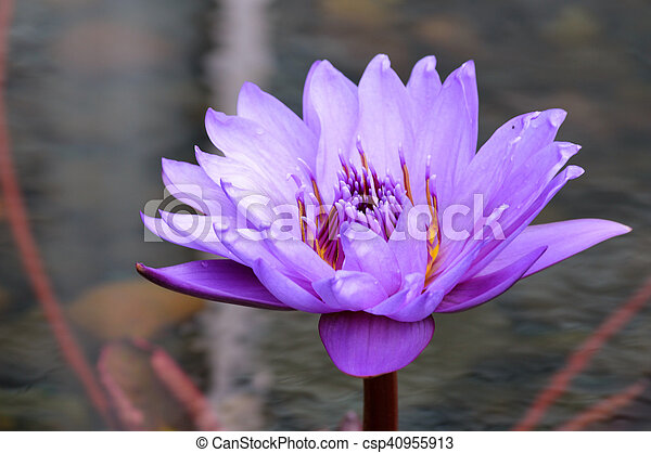 Water Lily - csp40955913