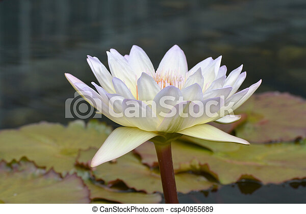 Water Lily - csp40955689