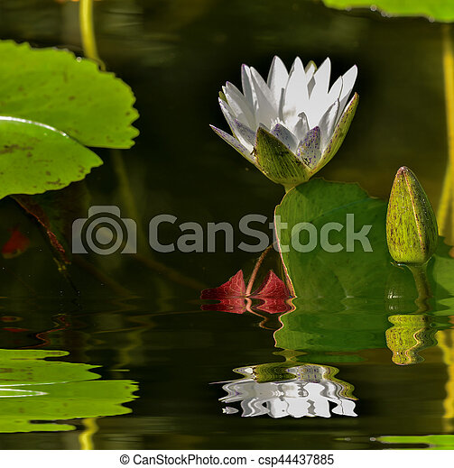 water lily - csp44437885